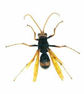 spiderwasp_female2.jpg